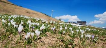 Meadow with alpine crocus, fellhorn mountain oberstdorf Stock Image