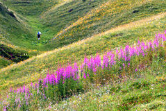 Meadow of the Alps. With a walker and magenta flowers Royalty Free Stock Image