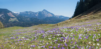 Meadow in the alps with purple and white spring crocus Stock Photo