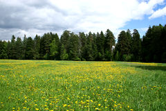 Meadow And Dandelions. Royalty Free Stock Photography