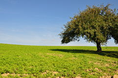 Meadow with apple tree Royalty Free Stock Photos