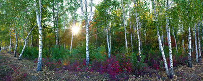 Meadow in the autumn birch forest Stock Photos
