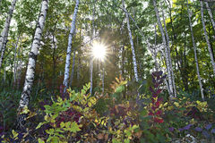 Meadow in the autumn birch forest Royalty Free Stock Photos