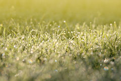 Meadow background. Grass covered in morning dew (selective focus Royalty Free Stock Image