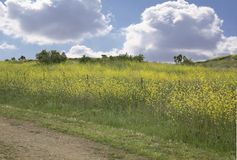 Meadow Background With Sky and Grass. Meadow Background With Sky,Grass and Yellow Flowers Stock Photography