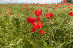 Meadow with beautiful bright red poppy flowers Stock Photography