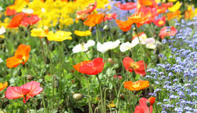 Meadow with beautiful bright red poppy flowers royalty free stock photography