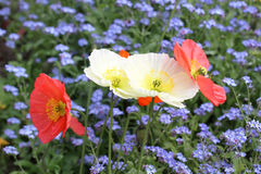 Meadow with beautiful bright red poppy flowers Royalty Free Stock Photo
