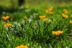 Meadow of beautiful orange flowers and a dragonfly Royalty Free Stock Photo