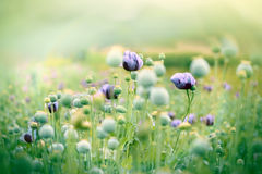 Meadow of beautiful purple poppy flowers Royalty Free Stock Images