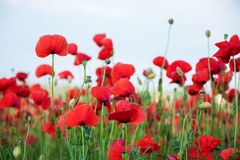 Meadow with beautiful  red poppy flowers Royalty Free Stock Photography