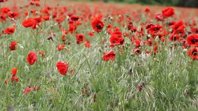 Meadow with beautiful red poppy flowers in spring stock footage