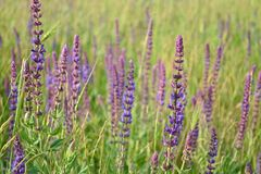 Plant Sage, beautiful background, color Glade violet royalty free stock photos
