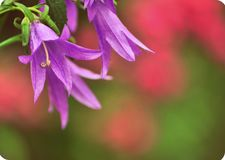 Meadow bell-flower `Campanula latifolia`. royalty free stock image