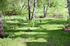 Meadow and birches Stock Photography