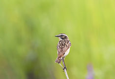 Meadow bird  sitting on a thin branch in the summer Royalty Free Stock Photos
