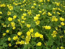 Meadow of blooming buttercup yellow flowers Royalty Free Stock Image