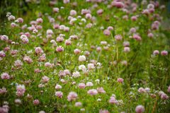 Meadow with blooming clover Stock Photography