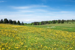 Meadow with blooming dandelion Royalty Free Stock Image