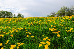 Meadow with blooming dandelions Stock Photos