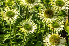 Meadow of blooming flowers of green jewel Echinacea in garden Royalty Free Stock Images