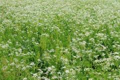 Meadow of blooming hemlock Stock Image