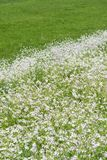 Meadow blooming white flowers Stock Photo