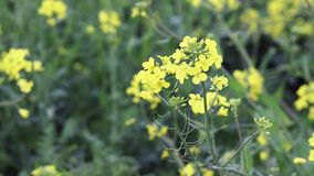 Meadow with blooming yellow flowers raps. Single raps blooms waving in the wind seen from close up. stock video footage