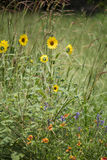 Meadow Blooms. A variety of small yellow, orange, and purple flowers bloom in a meadow of summer grass Stock Photos