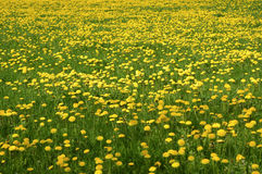 Meadow with blossoming Common Dandelion Stock Photos