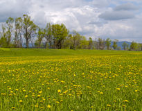 Meadow with blossoming dandelions Royalty Free Stock Photo