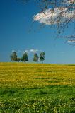 Meadow with blossoming dandelions Stock Photography