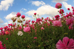 Meadow of the blossoming ranunculu Stock Photo
