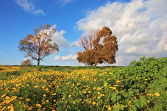 A meadow blossoming by yellow flowers Stock Photos