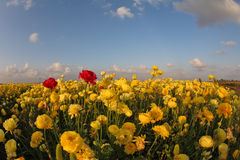 Meadow of the blossoming yellow and red buttercups Royalty Free Stock Photos