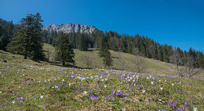 Meadow blotched with tommy crocus at springtime Stock Image