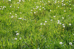 A meadow with blowballs. Blowballs on a green meadow Royalty Free Stock Image