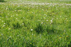 A meadow with blowballs Stock Photos