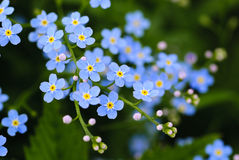 Meadow blue flowers Royalty Free Stock Image