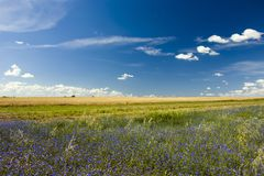 Meadow with blue flowers. Meadow with blue cornflower flowers, field and clouds in the sky Stock Photo