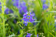 Meadow blue flowers on a meadow Royalty Free Stock Photography