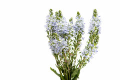 meadow blue flowers Royalty Free Stock Photos
