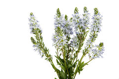 meadow blue flowers Stock Image