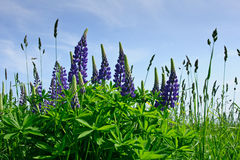 Meadow with blue lupine Royalty Free Stock Photo