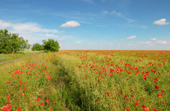 Meadow  and blue sky. Meadow with wild poppies and blue sky Royalty Free Stock Images