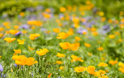 Meadow with blue and yellow flower. Meadow with yellow poppy flowers ,blue flowers stock photos