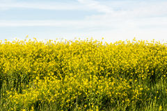 Meadow with Brassica napus (rapeseed) to produce biodiesel Stock Image