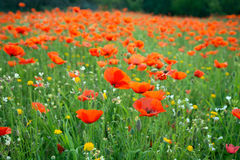 Meadow of bright poppies Royalty Free Stock Photos