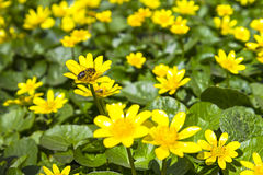 Meadow bright yellow buttercups spring sunny nature Stock Photos