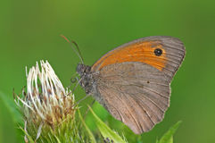 meadow brown Zdjęcia Royalty Free